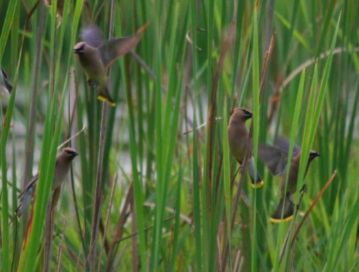 2009 Contest Photo of Cedar Waxwings at MCP by Jeff McMahill
