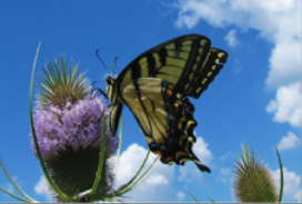 Louise Gladkowski's Photo of Swallowtail