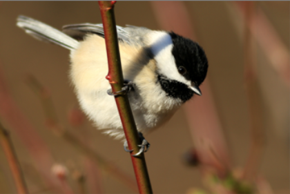 2011 Grand Prize winning photo of chickadee by Dale Matuza