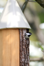 Photo of chickadee in prize birdhouse.