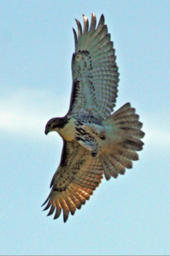 Prize winning photo of hawk at Murrysville Community Park